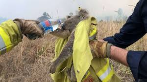 Save the Koalas Donate